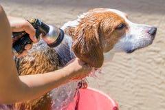 Beagle mieszanki ogar dostaje opłukujący mydło od skąpania - zamyka w górę fotografia royalty free