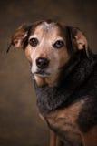 Beagle Mix. Beagle Blue Healer mix dog in a formal setting stock photos