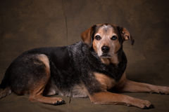 Beagle Mix. Beagle Blue Healer mix dog in a formal setting royalty free stock image
