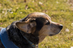 Beagle Mix. Beagle Blue Healer mix dog in a formal setting royalty free stock photography