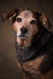 Beagle Mix. Beagle Blue Healer mix dog in a formal setting stock image