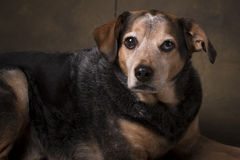 Beagle Mix. Beagle Blue Healer mix dog in a formal setting stock photography