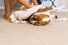 Free Beagle Mix Hound Dog  Stretches While Being Towel Dried Royalty Free Stock Photos - 180448218