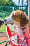 Beagle mix hound getting rinsed off from his bath on a hot summer day stock images