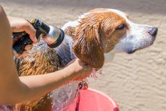 Beagle mix hound getting rinsed of soap from a bath - close up royalty free stock photography