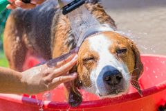 Beagle mix hound having a summer time bath outdoors royalty free stock image