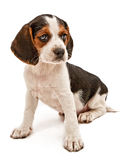 Beagle Mix Puppy Stock Photography