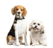 Beagle, Mixed-breed dog sitting in front of white background. Isolated on white royalty free stock photos