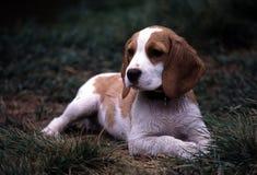 Beagle mojado Imagen de archivo libre de regalías