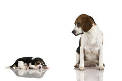 Beagle mom Royalty Free Stock Photos