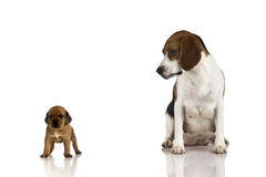 Beagle mom and a brown puppy. A beagle mom looking to is sun. (isolated on white with reflection royalty free stock images