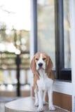 Beagle  Royalty Free Stock Photos