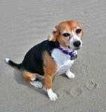 beagle na plaży Zdjęcia Royalty Free