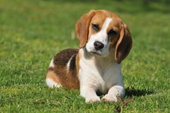 Beagle on a natural  background Stock Photos