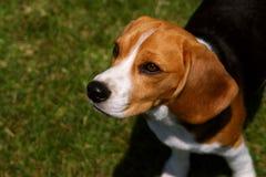 Beagle obediente Imagenes de archivo