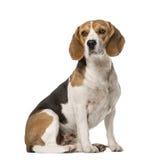 Beagle obsiadanie, odizolowywający Zdjęcia Stock
