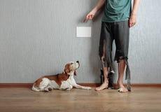 Beagle och hans ägare i sönderrivna flåsanden och biten fot royaltyfria foton