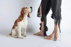 Beagle och hans ägare i sönderrivna flåsanden och biten fot royaltyfri bild