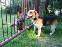 Beagle och schäfer royaltyfri foto
