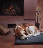 Beagle odpoczywa na podłoga grabą zdjęcia royalty free