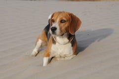 Beagle odpoczywa w piasku Zdjęcie Royalty Free