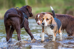 Beagle and other dogs at the river Royalty Free Stock Photos