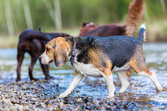 Beagle and other dogs at the river Royalty Free Stock Images