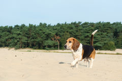 Beagle outdoor Royalty Free Stock Image