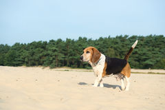 Beagle outdoor Royalty Free Stock Photography