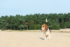 Beagle outdoor Royalty Free Stock Photo