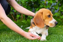 Beagle and owner outdoor. Cute purebred beagle playing and training with owner outdoor stock images
