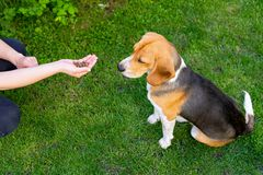 Beagle and owner outdoor. Cute purebred beagle playing and training with owner outdoor royalty free stock photography