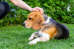 Beagle and owner outdoor. Cute purebred beagle playing and training with owner outdoor stock image