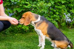 Beagle and owner outdoor. Cute purebred beagle playing and training with owner outdoor royalty free stock photos