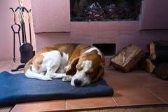 Beagle på golvet nära den gamla spisen arkivfoton