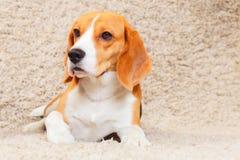 Beagle på mattan Arkivbild