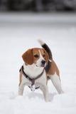 Beagle på snön Arkivbild
