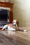 Beagle på trägolvet nära spisen royaltyfria foton