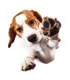 Beagle på vit Royaltyfri Fotografi
