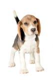 Beagle på vit bakgrund Royaltyfria Bilder