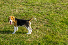 Beagle in the park Royalty Free Stock Photos