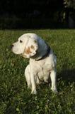 Beagle in the park in Sofia. City Stock Photo
