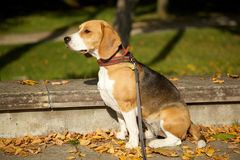 Beagle in park Royalty Free Stock Image