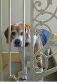 Beagle Stock Photo