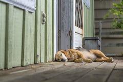 Beagle perezoso Imágenes de archivo libres de regalías