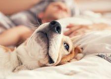 Beagle perezoso que miente en cama con su dueño durmiente fotos de archivo libres de regalías