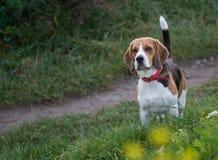 Beagle - perro Imagen de archivo libre de regalías