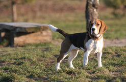 Beagle - perro Foto de archivo libre de regalías