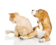 Beagle and persian cat Royalty Free Stock Photos