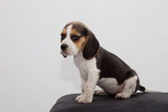Beagle. Photo of a beagle puppy taken in a studio Royalty Free Stock Photography